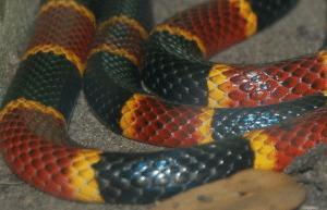 edible snakes coronavirus